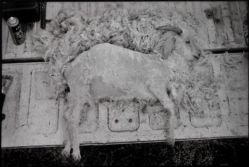 Tail Gate Shearing, 2003
