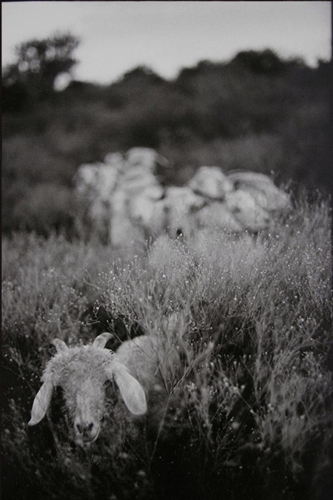 Goats, 2004